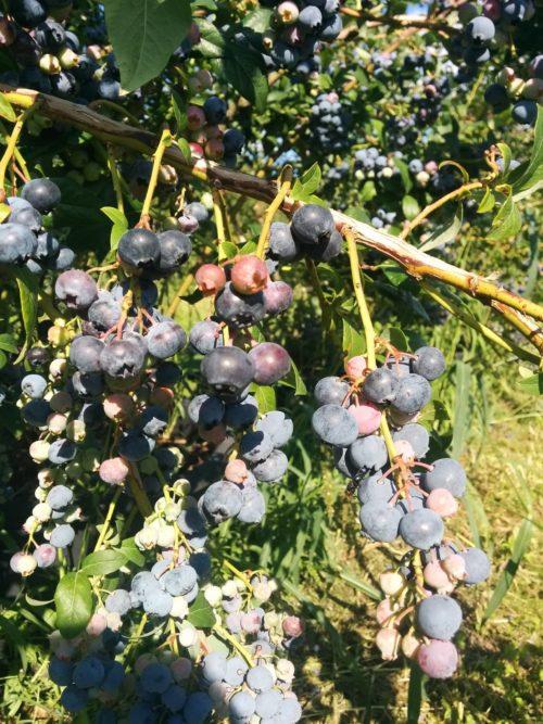 Blaubeeren pflücken Erlebnisplantage Moritzburg